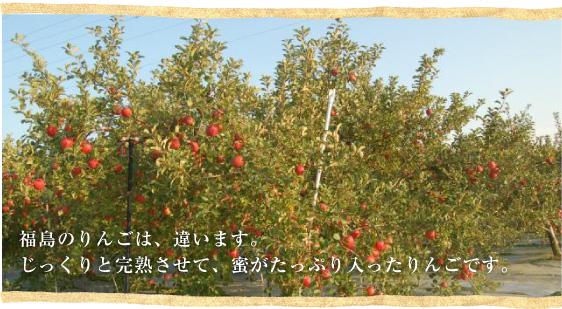 福島のりんごは、違います。じっくりと完熟させて、蜜がたっぷり入ったりんごです。